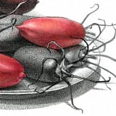 """Помидоры сорта """"Алые свечи"""". Другое шутливое название """"Красные жуки"""". (2), художник Евгенияя Соколикова"""