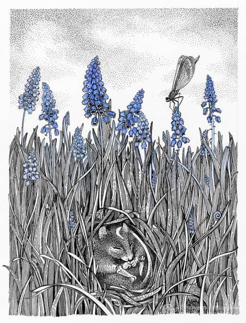 Мышиный гиацинт